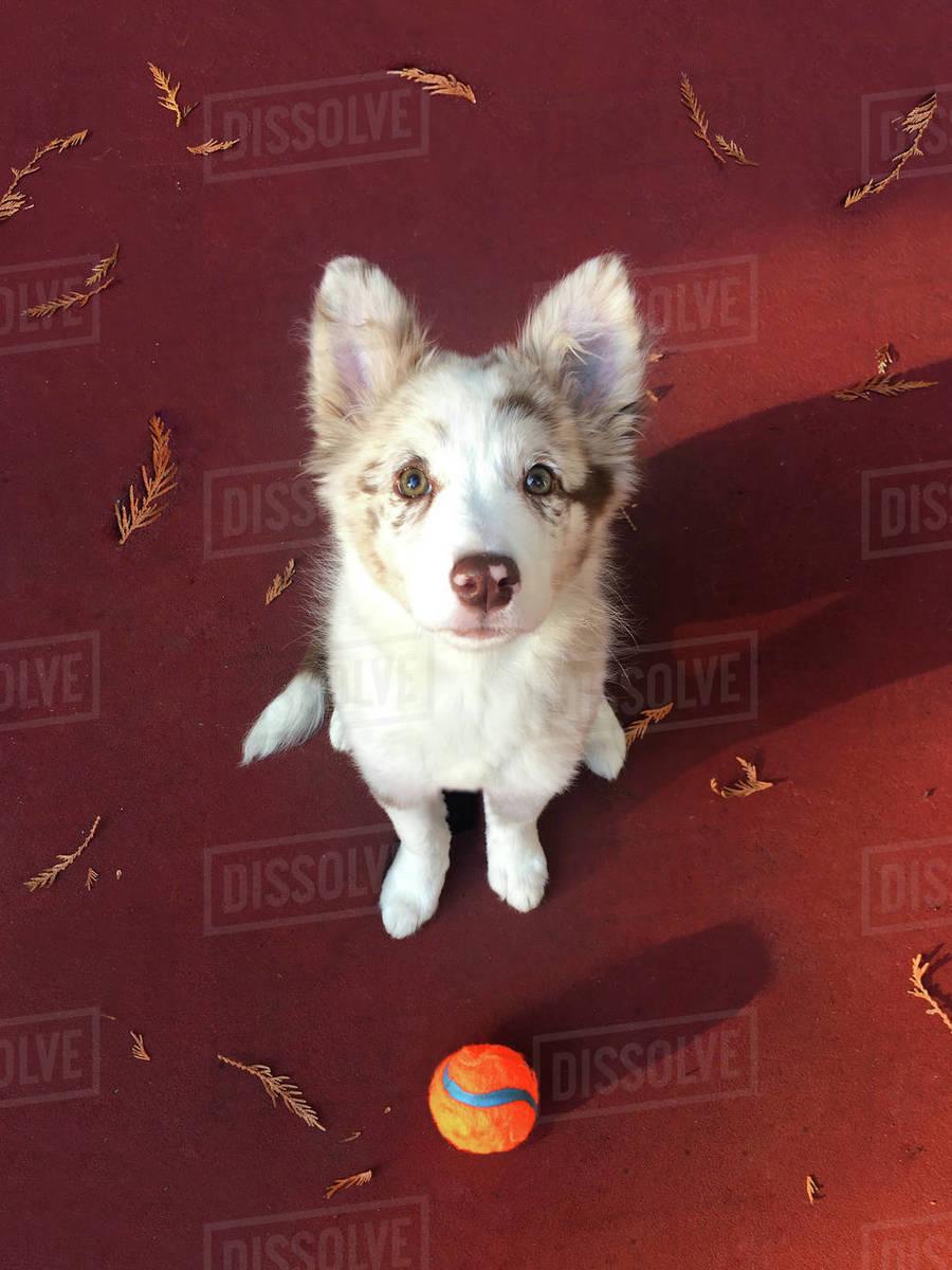 Red Merle Border Collie Puppy Stock Photo Dissolve