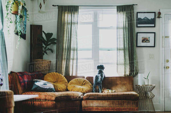 Rear view of dog looking through window while standing on sofa at home Royalty-free stock photo