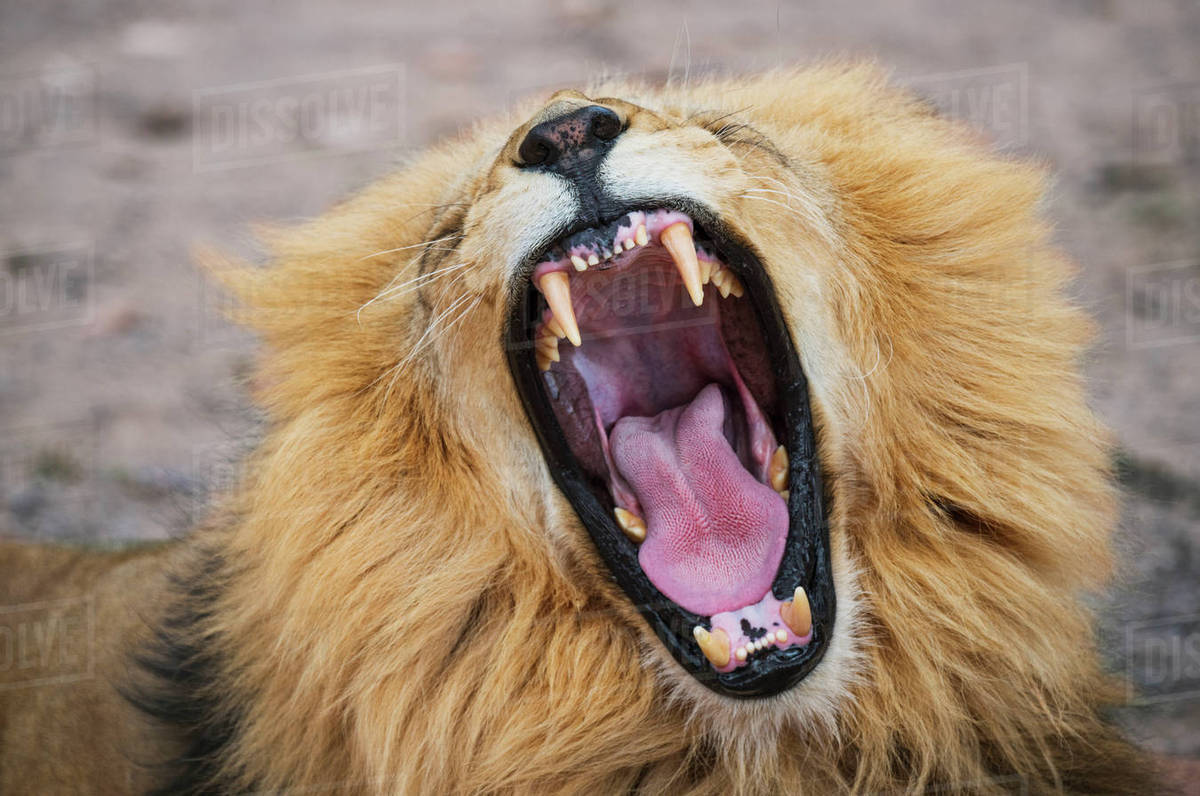 close up of lion roaring at national park stock photo dissolve