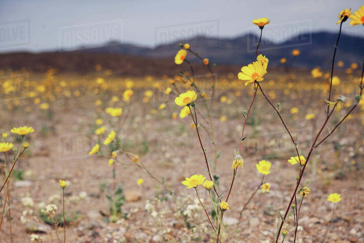 Yellow Flowers Growing On Field At Death Valley National Park