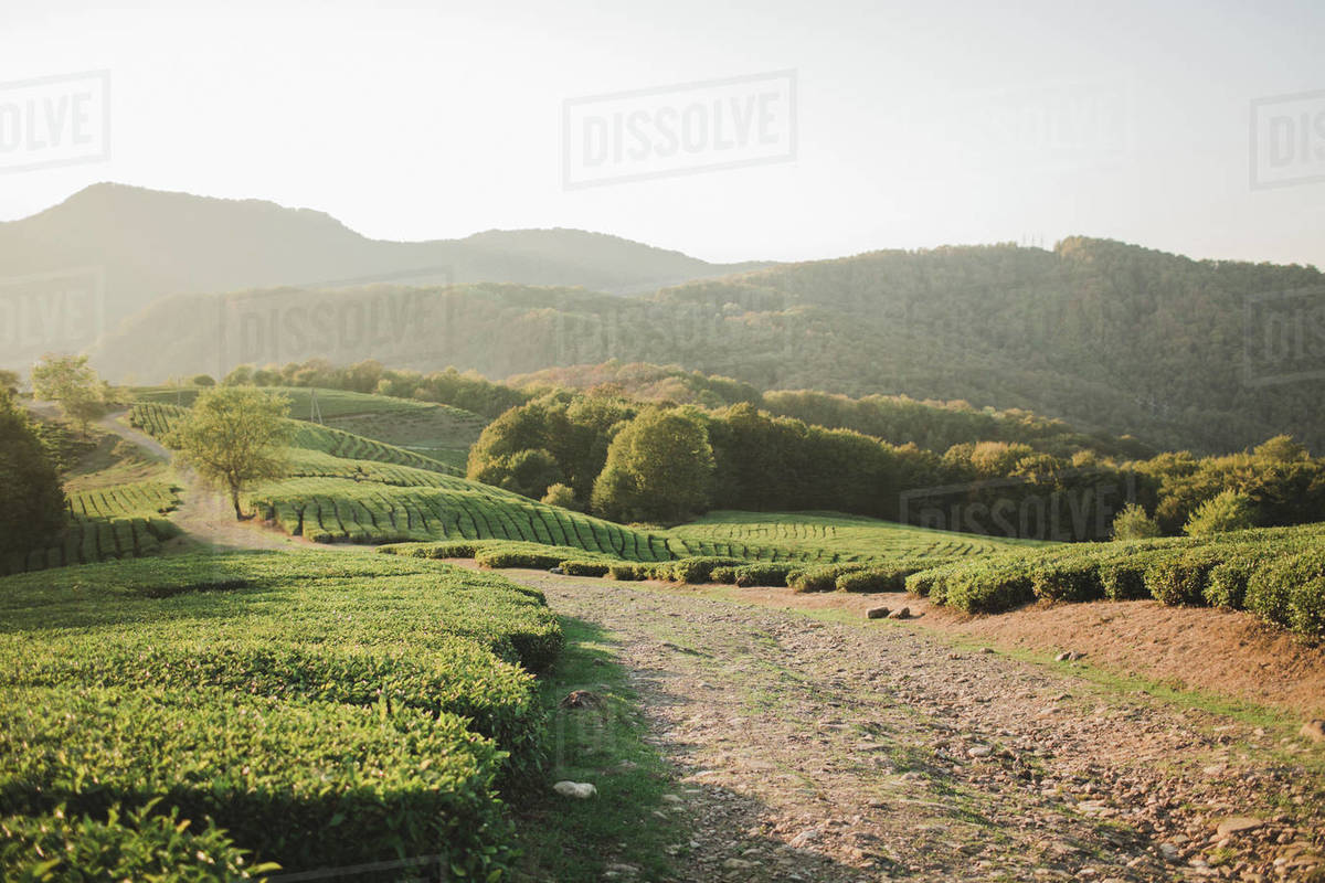 Green bushes of the tea plantations in the mountains at sunset Royalty-free stock photo