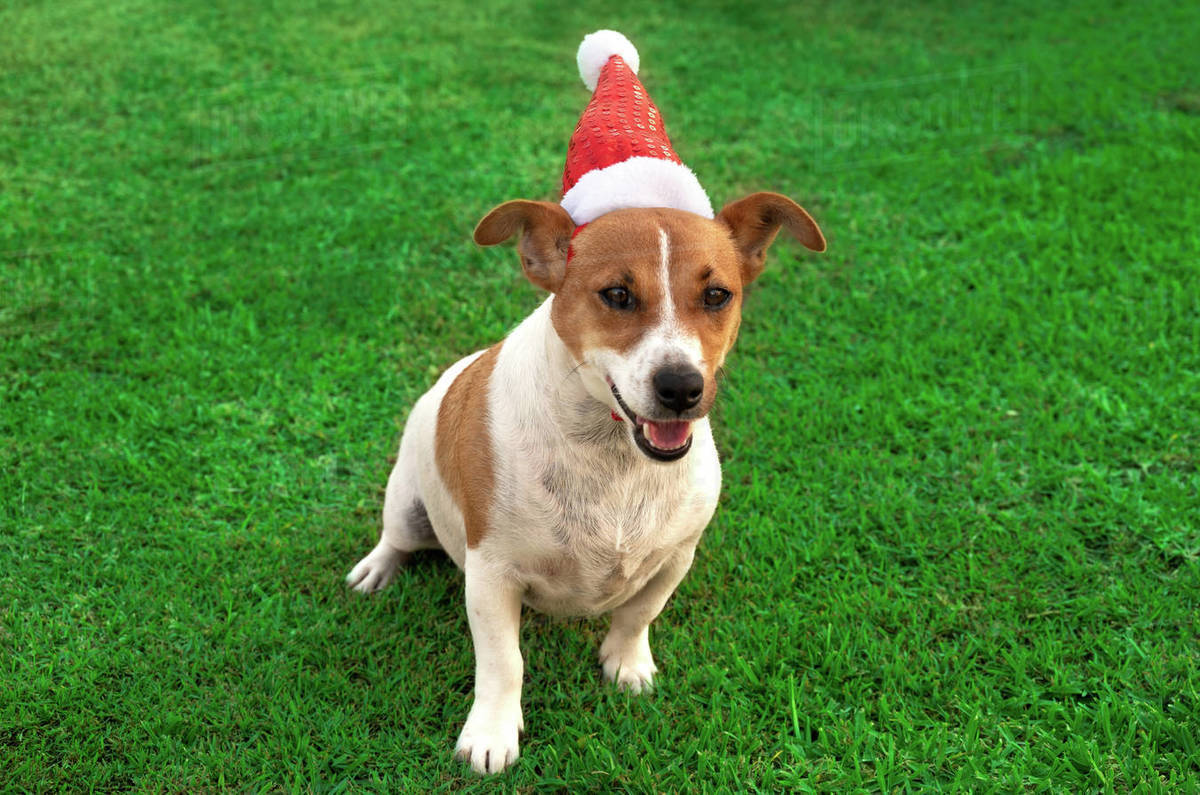 Cute Puppy Playing with his Santa Hat Royalty-free stock photo