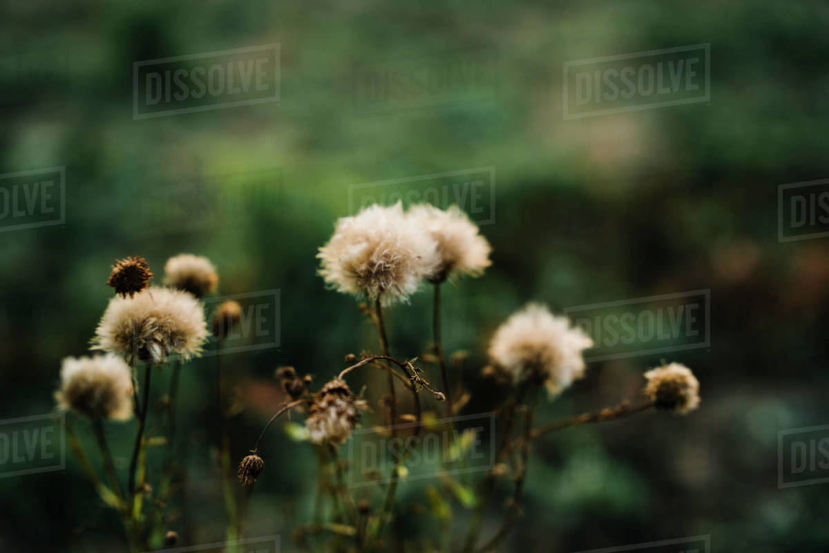 Weed in green field dying Royalty-free stock photo