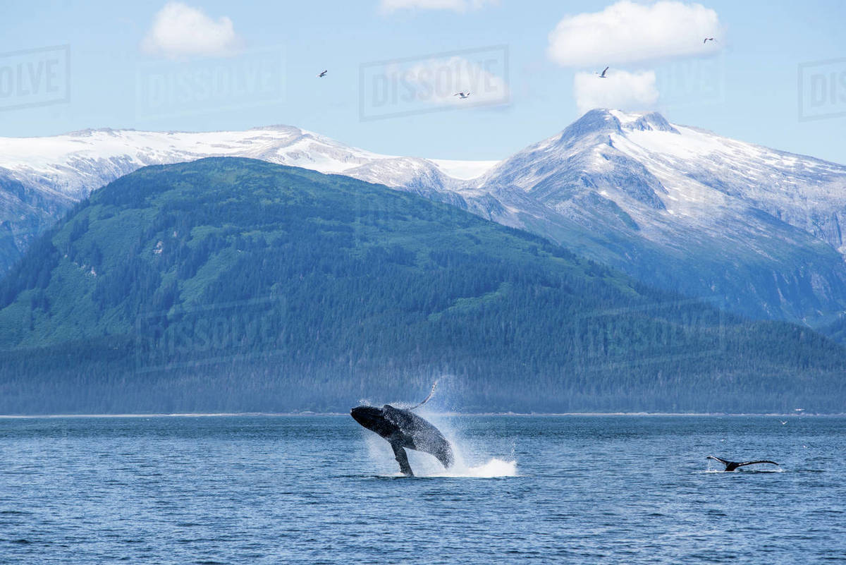 A humpack whale breaches in Alaska with snowy peaks behind Royalty-free stock photo