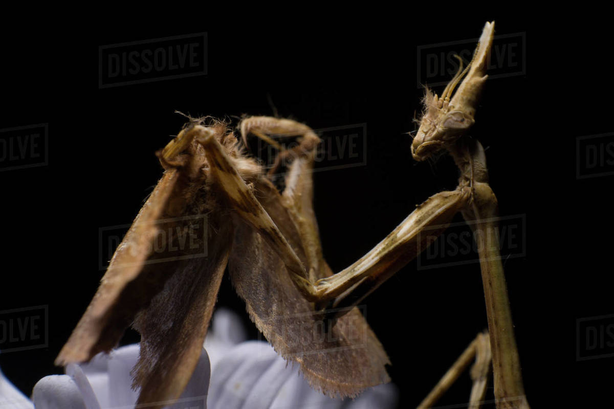 Empusa eating a moth on a black background, mantis macro photography Royalty-free stock photo