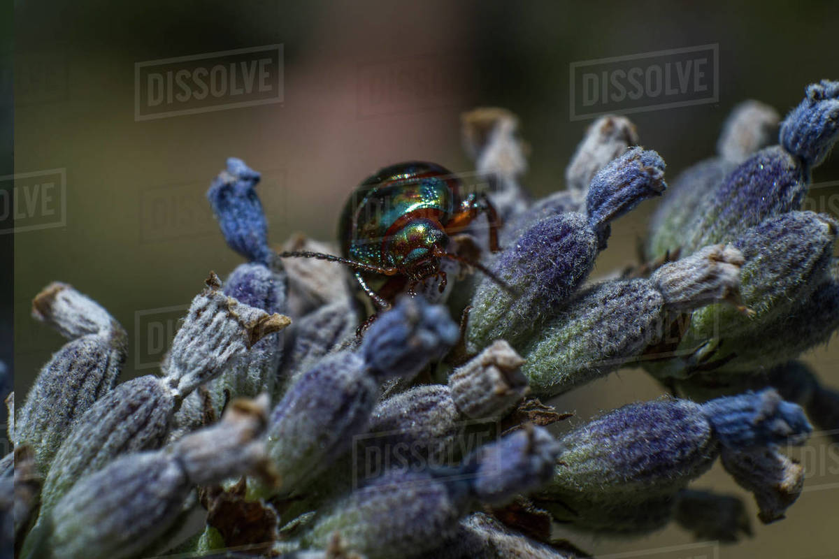 Jewel bugs metallic shield bugs Royalty-free stock photo