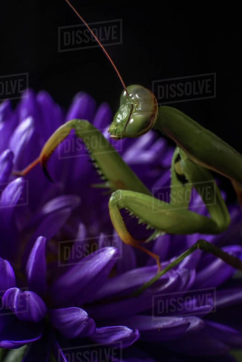 Alien looking green Praying Mantis on a purple Callistephus Royalty-free stock photo