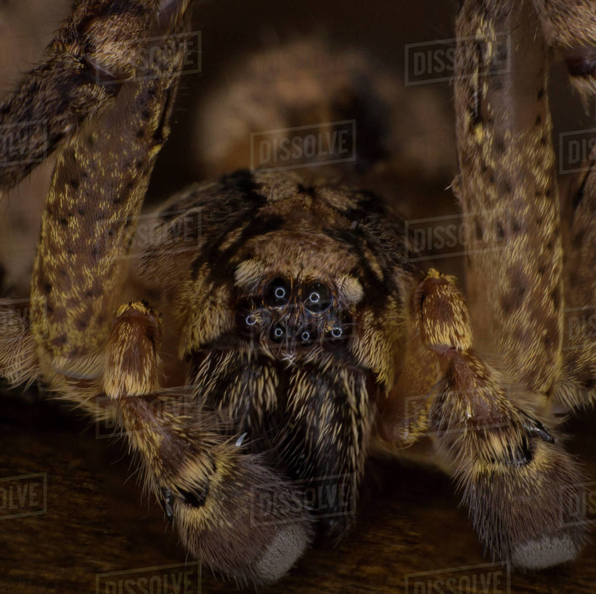 Extreme macro arachnophobia, scary house spider, giant hairy monster Royalty-free stock photo