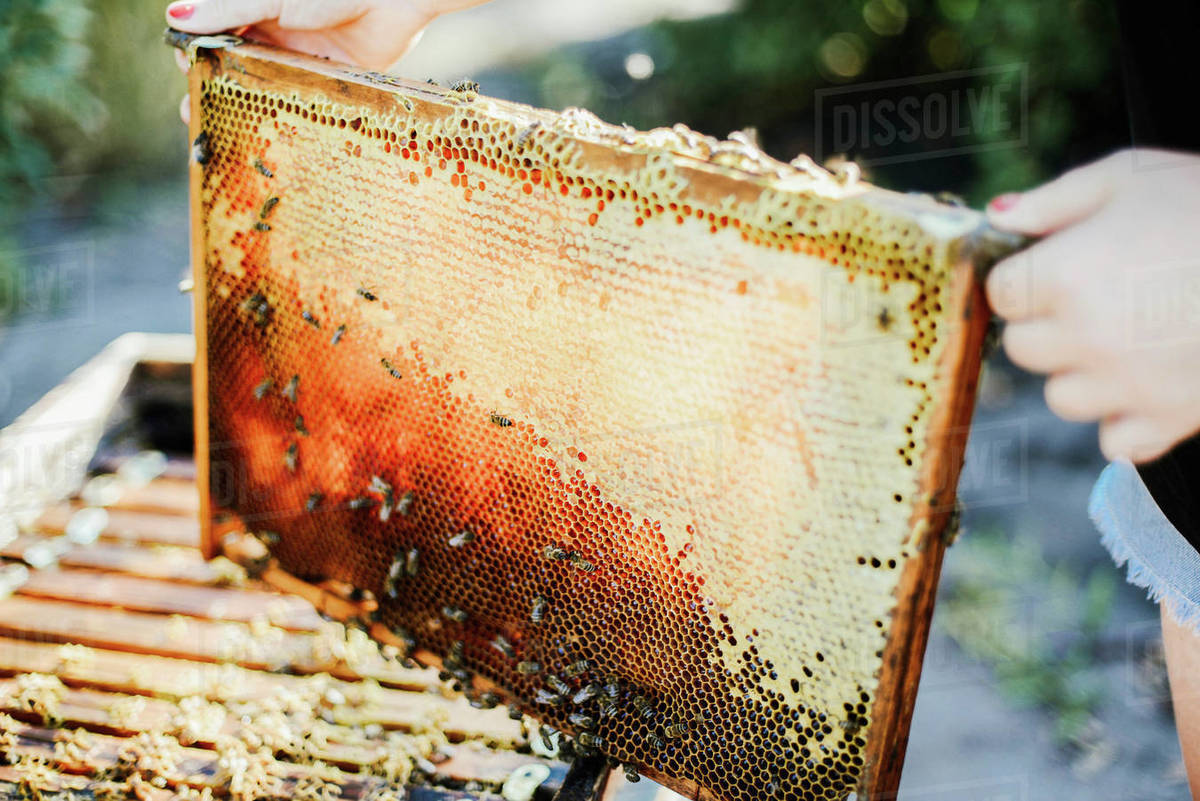 Cropped image of beekeeper  while holding wooden frame Royalty-free stock photo