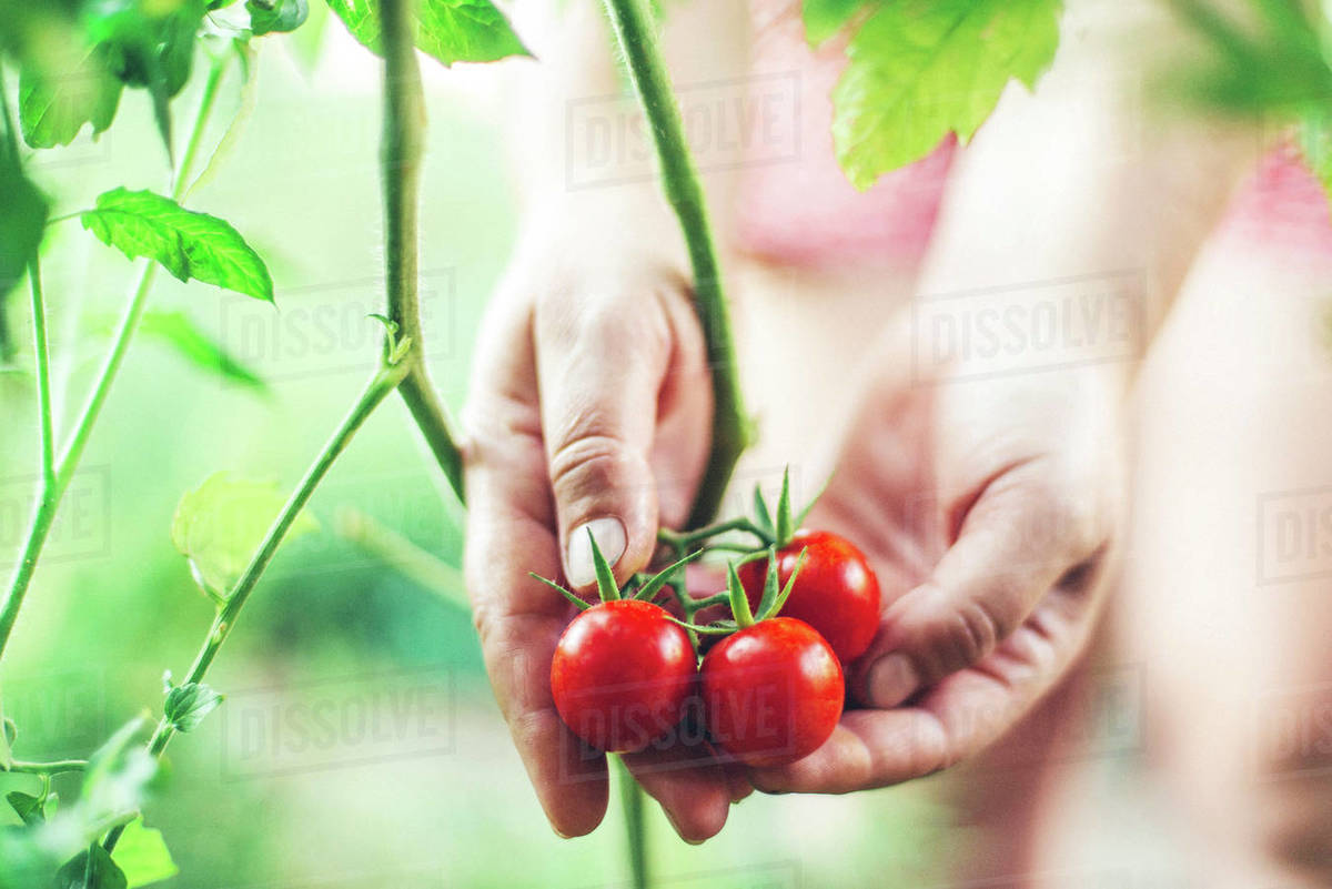 Close-up of a woman's hands holding organic cherry tomatoes Royalty-free stock photo