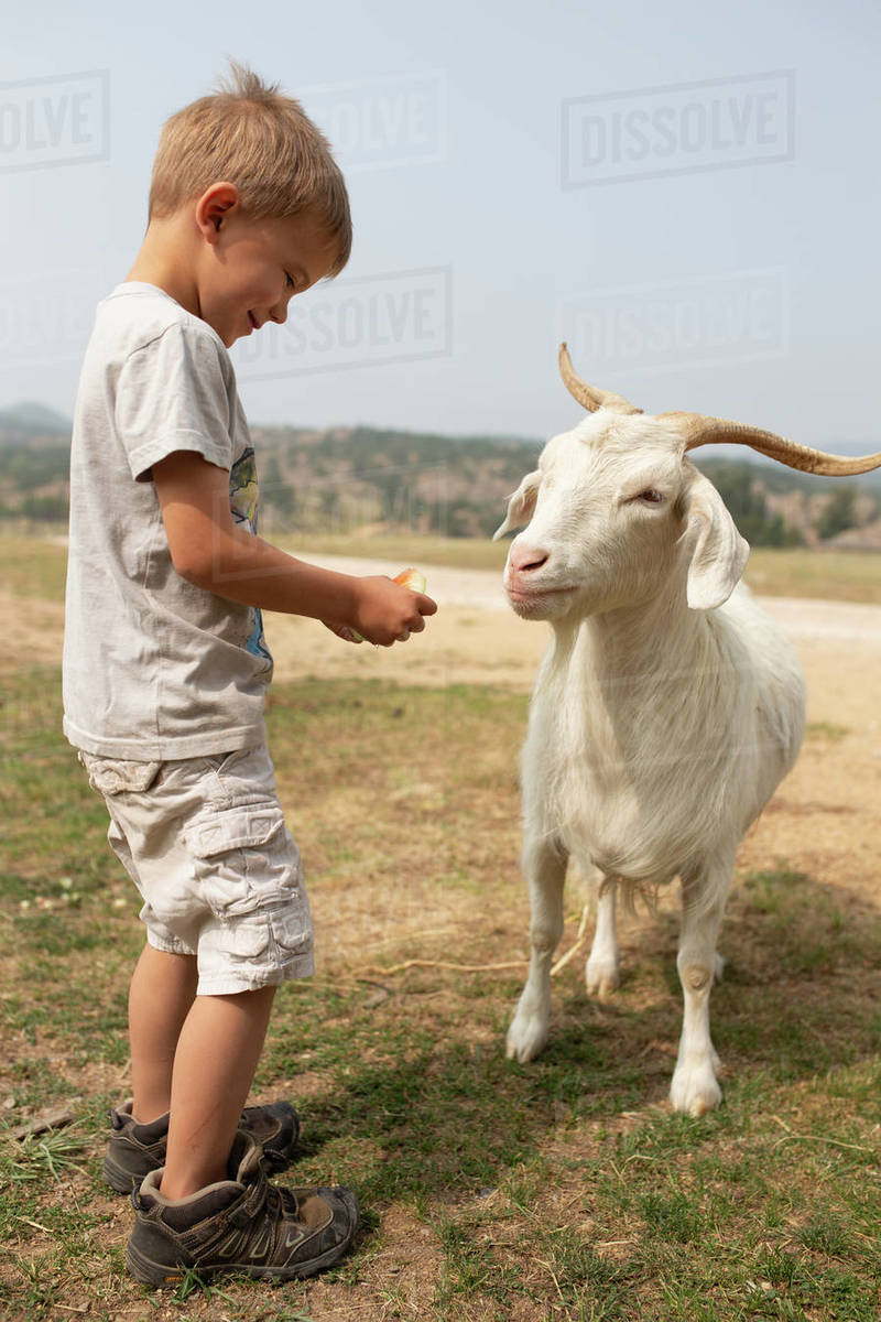 Goat looking to eat more watermelon from little boy Royalty-free stock photo