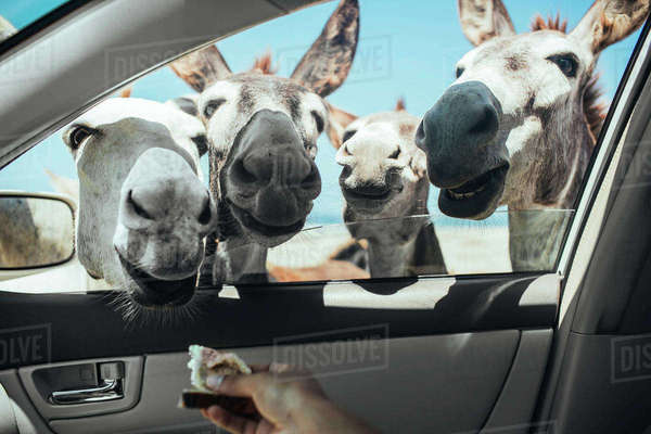 Cropped image of hand feeding bread to donkeys through car window Royalty-free stock photo