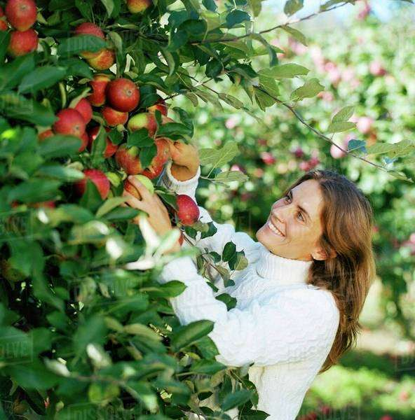 Woman picking apples from the tree Royalty-free stock photo