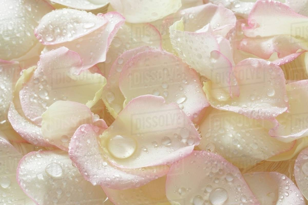 White rose petals with drops of water