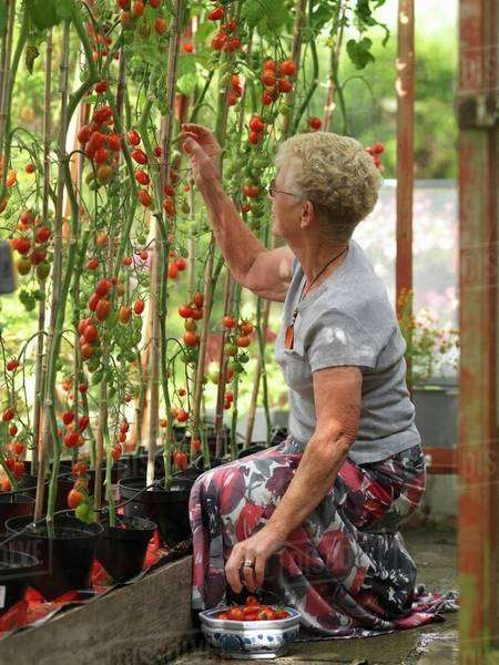 Elderley female collecting tomatoes in domestic greenhouse Royalty-free stock photo