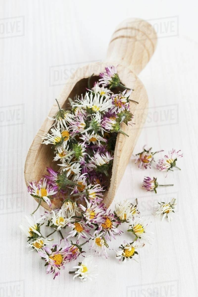 Dried Daisies In A Wooden Scoop For Making Daisy Tea Stock Photo