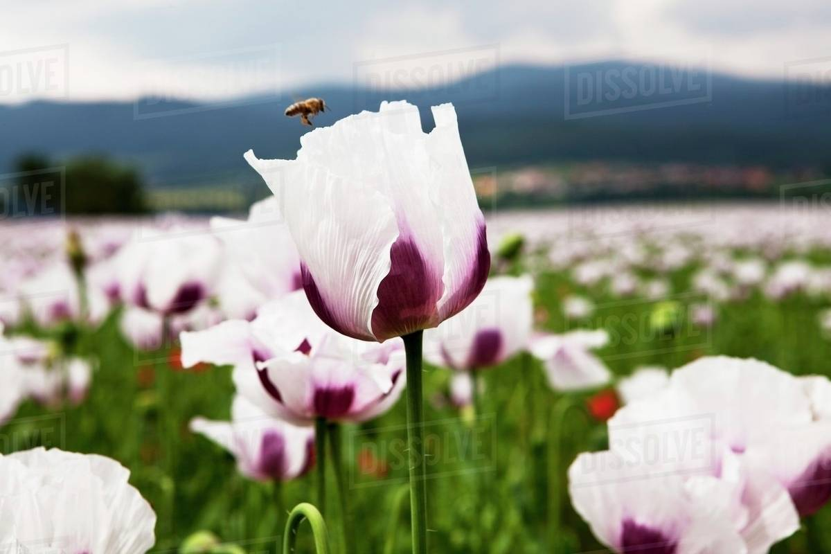 A field of flowers with white and purple poppy flowers stock photo a field of flowers with white and purple poppy flowers mightylinksfo
