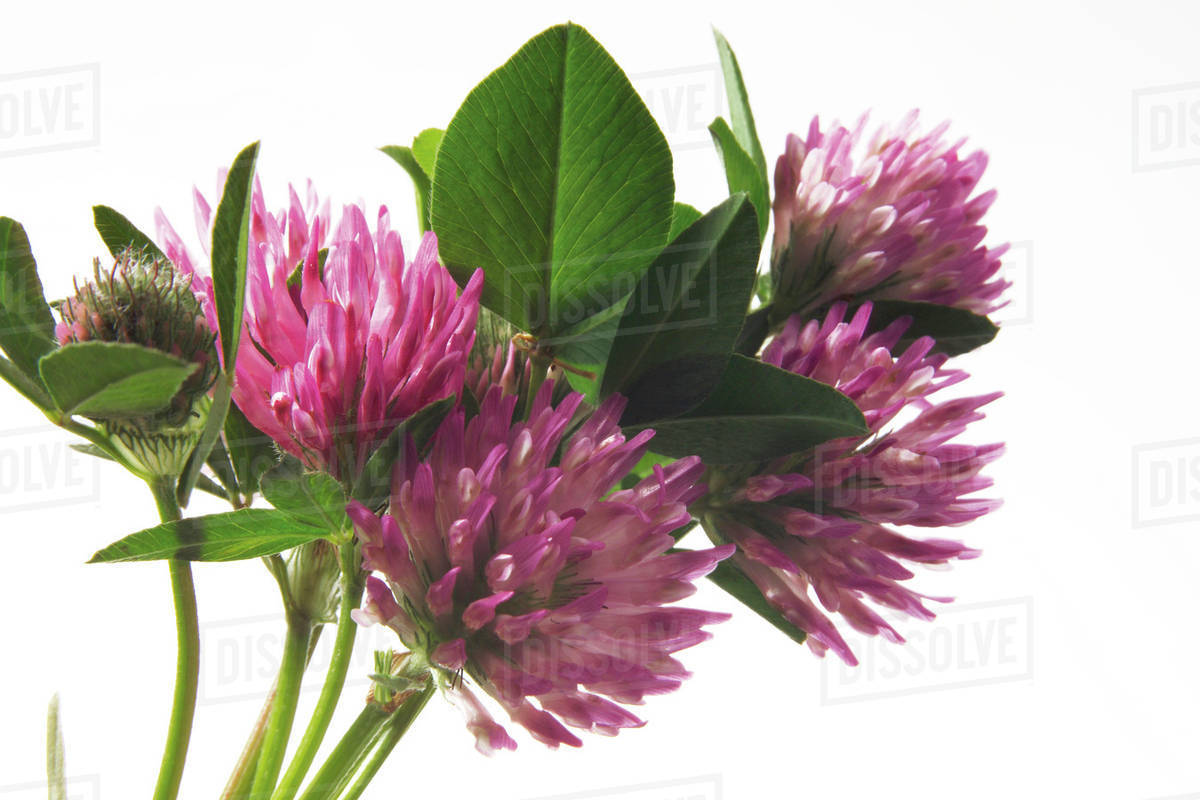 Pink Clover Trifolium Pratense Close Up Stock Photo Dissolve
