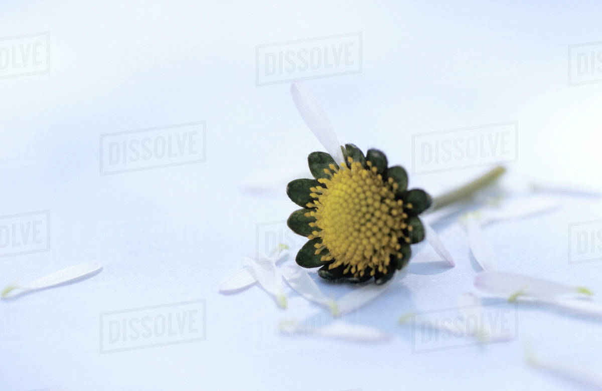 Plucked Petals Of A Daisy Flower Stock Photo Dissolve