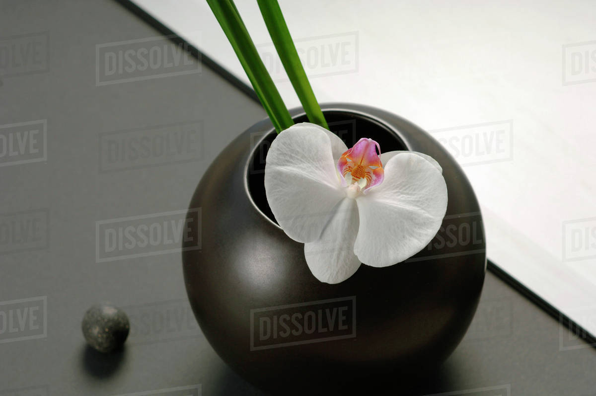 Black Flower Vase With White Orchid Close Up Stock Photo Dissolve