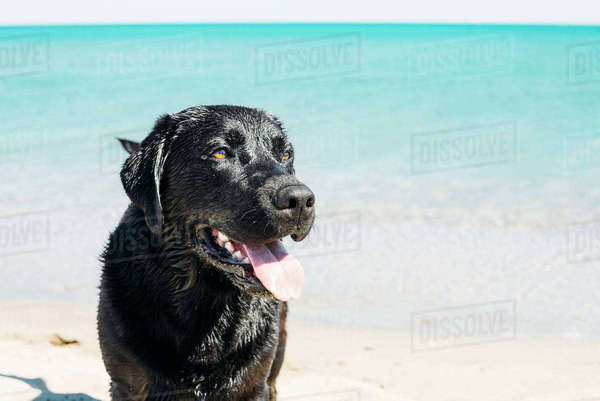France, Aude, portrait of black Labrador Retriever standing on the beach in front of the sea Rights-managed stock photo