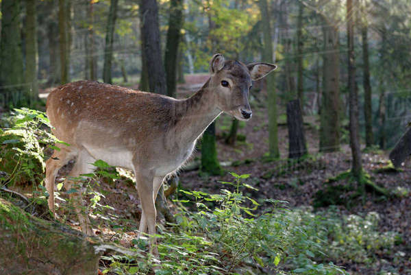 Germany, Furth im Wald, fallow deer at wildlife park Rights-managed stock photo