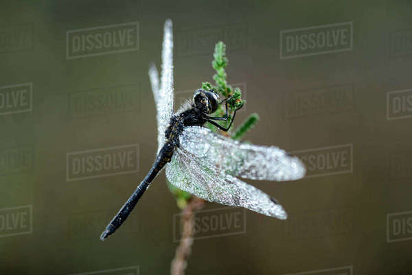 Black darter, Sympetrum danae, hanging on a sproot Rights-managed stock photo