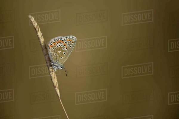 Common blue butterfly on a spike Rights-managed stock photo