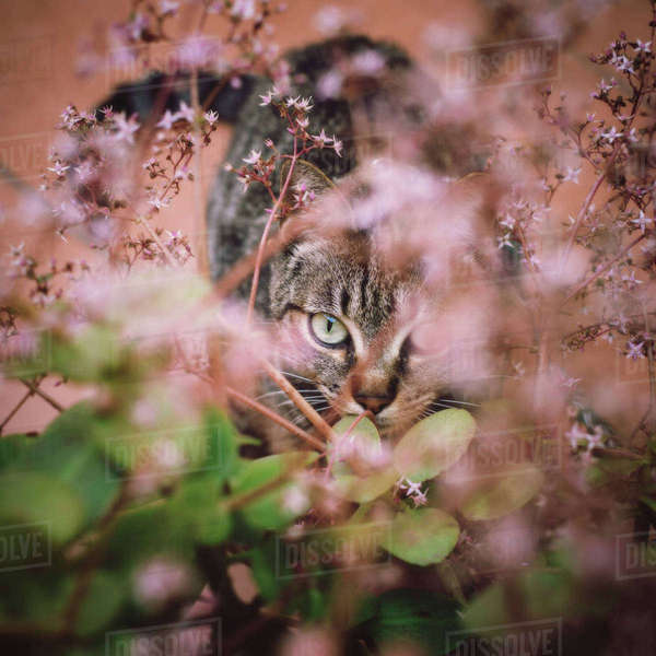Tabby cat hiding among the flowers of a garden Rights-managed stock photo