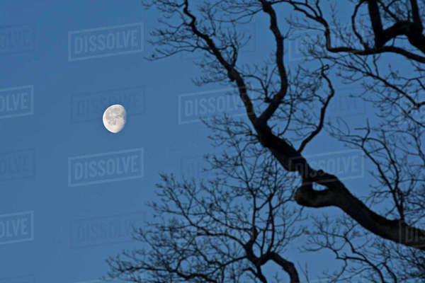 Decreasing full moon with branch of oak tree in the foreground Rights-managed stock photo