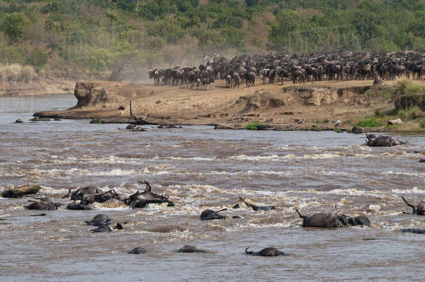 Africa, Kenya, Maasai Mara National Reserve, Common Wildebeests, Connochaetes taurinus, during migration, wildebeests crossing the Mara River, many dead wildebeest at front Rights-managed stock photo