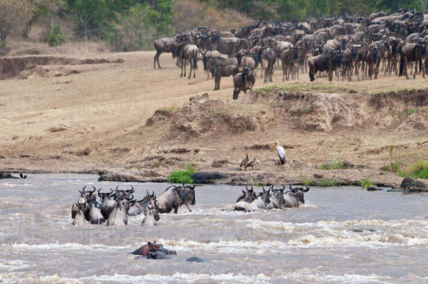 Africa, Kenya, Maasai Mara National Reserve, Common Wildebeests, Connochaetes taurinus, during migration, wildebeests crossing the Mara River Rights-managed stock photo