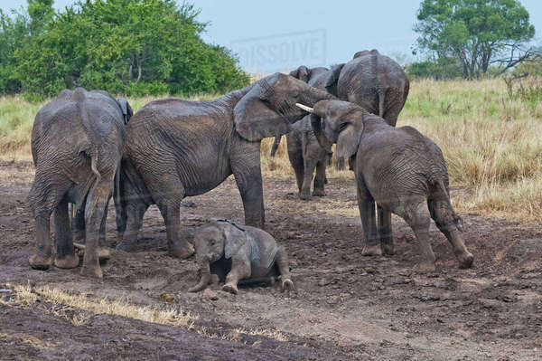Africa, Kenya, Maasai Mara National Reserve, African Bush Elephants, Loxodonta africana, elephant family, juvenile Elephants testing their strength Rights-managed stock photo