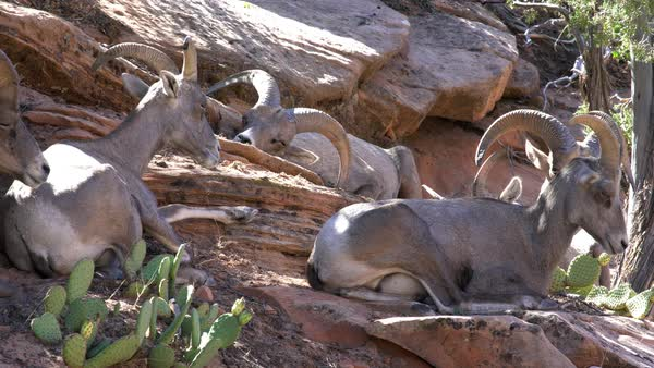 Herd of Big Horn Sheep on hillside in Zion, near end 2 sheep stand up. Royalty-free stock video