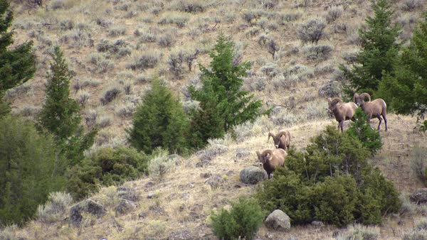 Bighorn sheep rams walking through sagebrush past trees and bushes in Wyoming. Royalty-free stock video