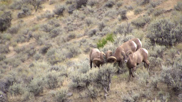 Bighorn Sheep Rams grazing through the sagebrush as they follow each other. Royalty-free stock video