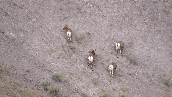 Four bighorn sheep digging and licking dirt on hillside in Yellowstone. Royalty-free stock video