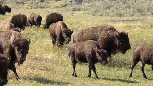 Bison herd roaming through grassy field in Yellowstone. Royalty-free stock video