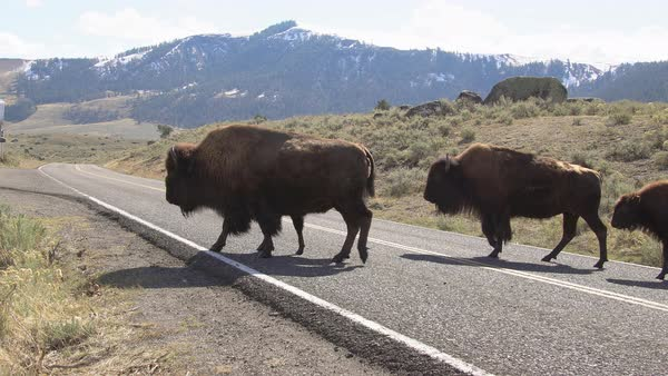 Bison herd crossing road in a line in Lamar Valley. Royalty-free stock video