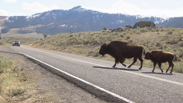 Bison slowly crossing road while cars wait in Yellowstone. Royalty-free stock video