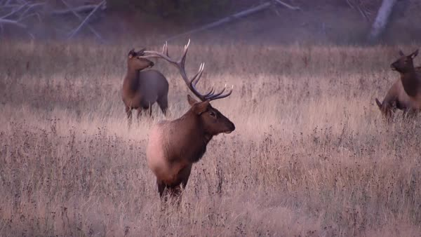 Bull Elk in field watching herd graze the grass at dawn in Wyoming. Royalty-free stock video