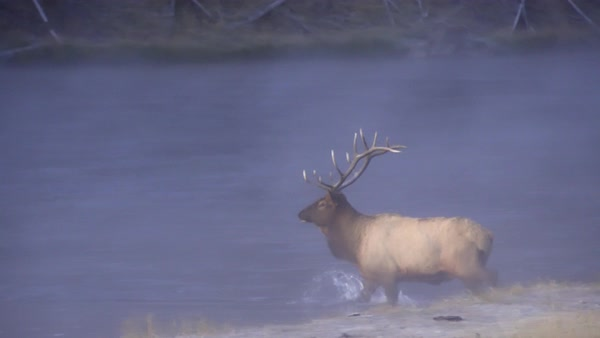 Bull Elk crossing river on cold morning at dawn as fog rolls through. Royalty-free stock video