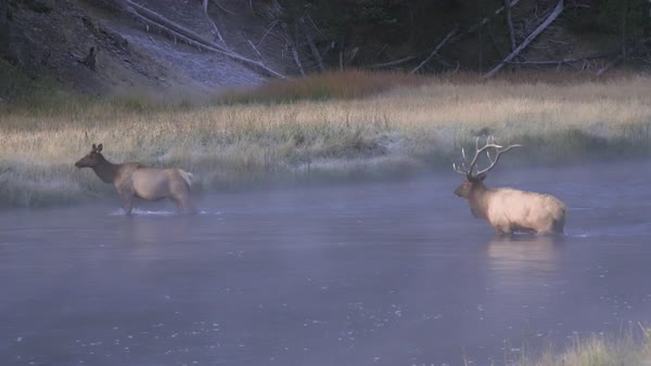 Bull and cow elk crossing water on cold foggy morning in Wyoming. Royalty-free stock video