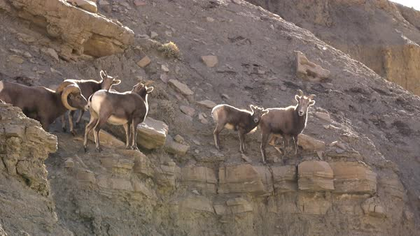 Rocky Mountain Bighorn Sheep posing on ledge of cliff in Green River Utah Royalty-free stock video