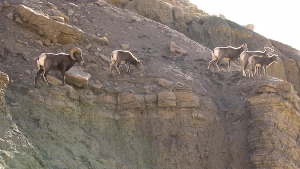 Rocky Mountain Bighorn Sheep standing on edge of cliff Royalty-free stock video