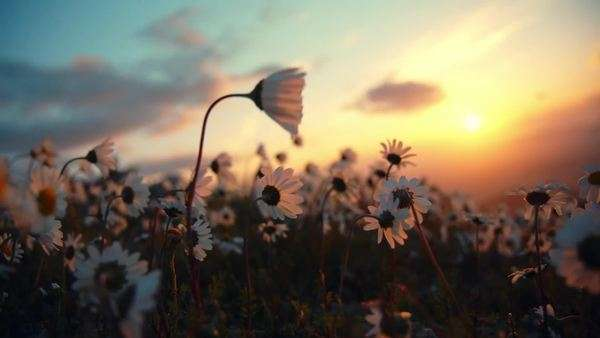 Close up of daisies blowing in the wind sunset sky and sun background. Royalty-free stock video