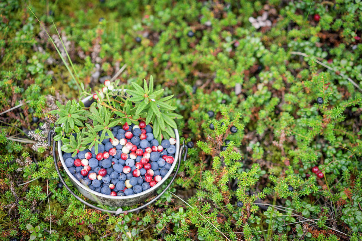 Wild blueberries, lignonberries and labrador tea foraged in Alaska's boreal  forest stock photo