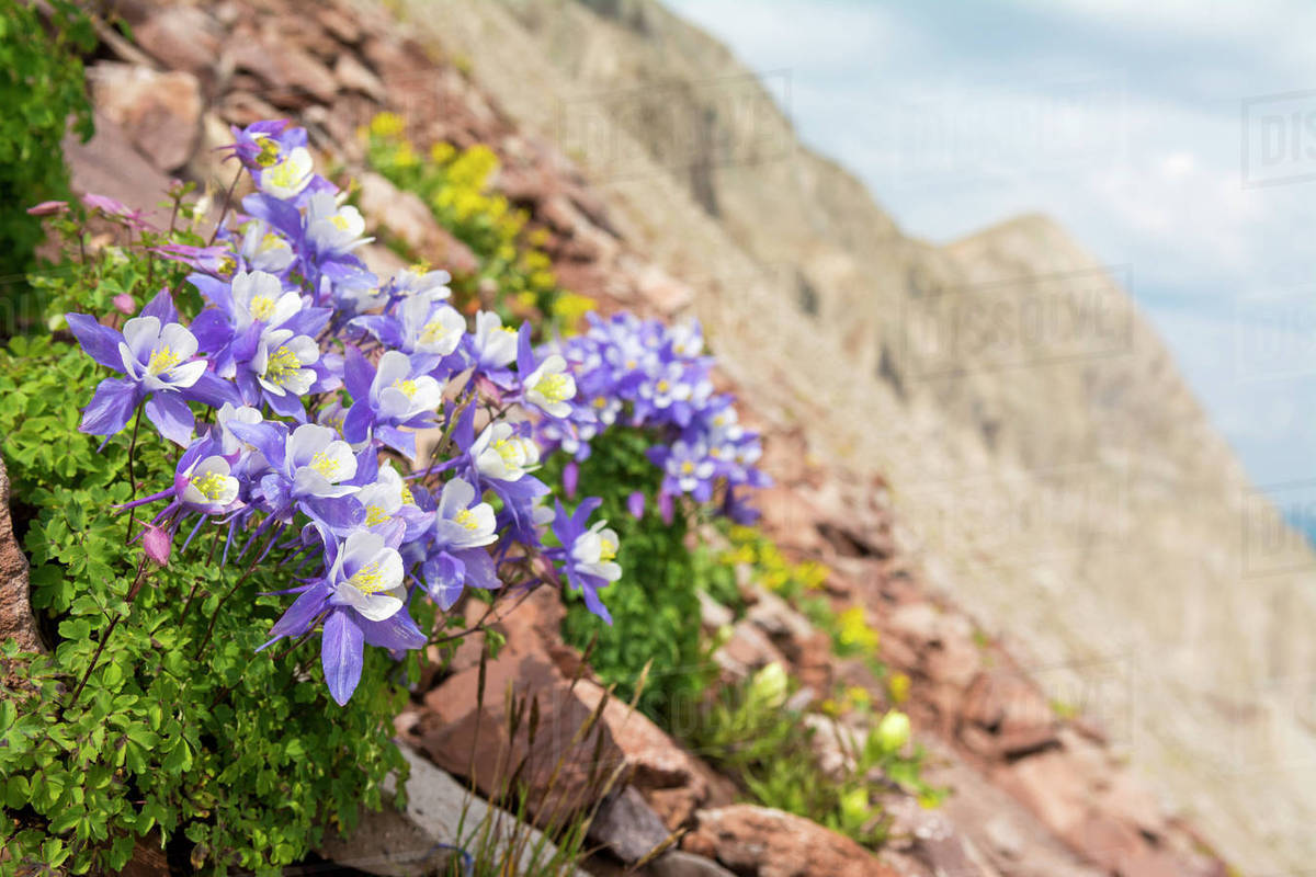 Columbine Flowers Aquilegia Growing On Mountainside Along Trail