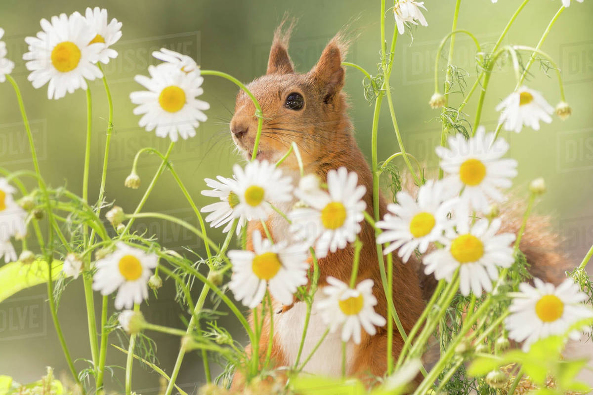 Beautiful nature photograph with cute red squirrel between daisy beautiful nature photograph with cute red squirrel between daisy flowers bispgarden jamtland sweden izmirmasajfo