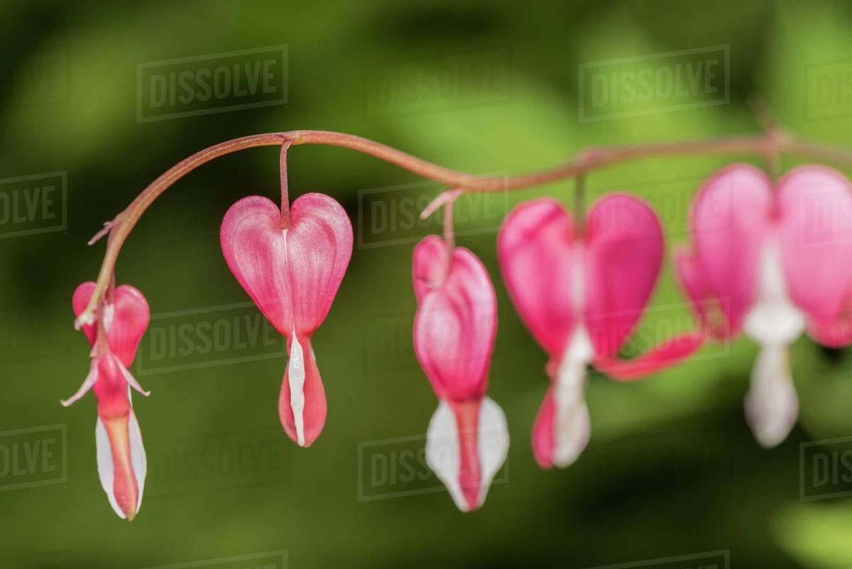Close up of beautiful pink bleeding heart flowers bispgarden close up of beautiful pink bleeding heart flowers bispgarden jamtland sweden mightylinksfo